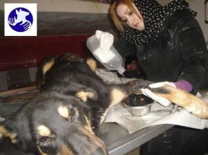 ژیلا پورایرانی مدیر پناهگاه پردیس در حال درمان یکی از سگ ها