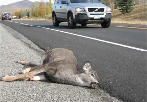 dead-deer-car-H2